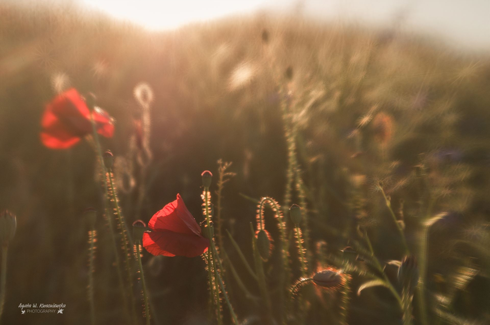 Poppies -  by Agata W. Kwasniewska Photography