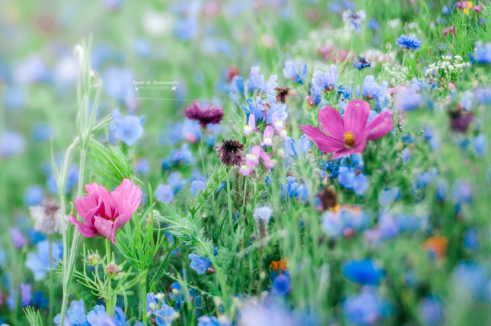 Summer flowers -  by Agata W. Kwasniewska Photography