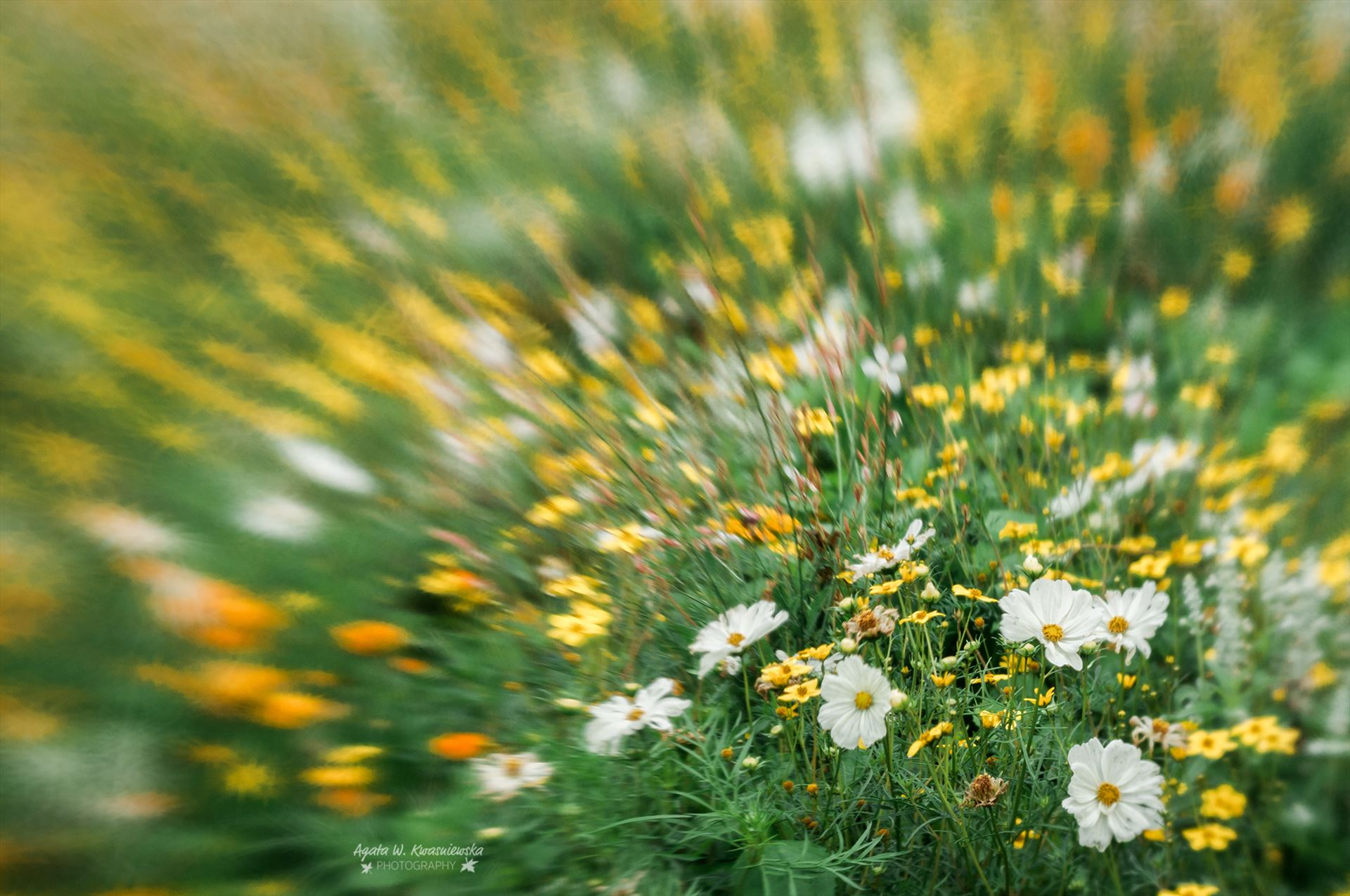 Flower meadow -  by Agata W. Kwasniewska Photography