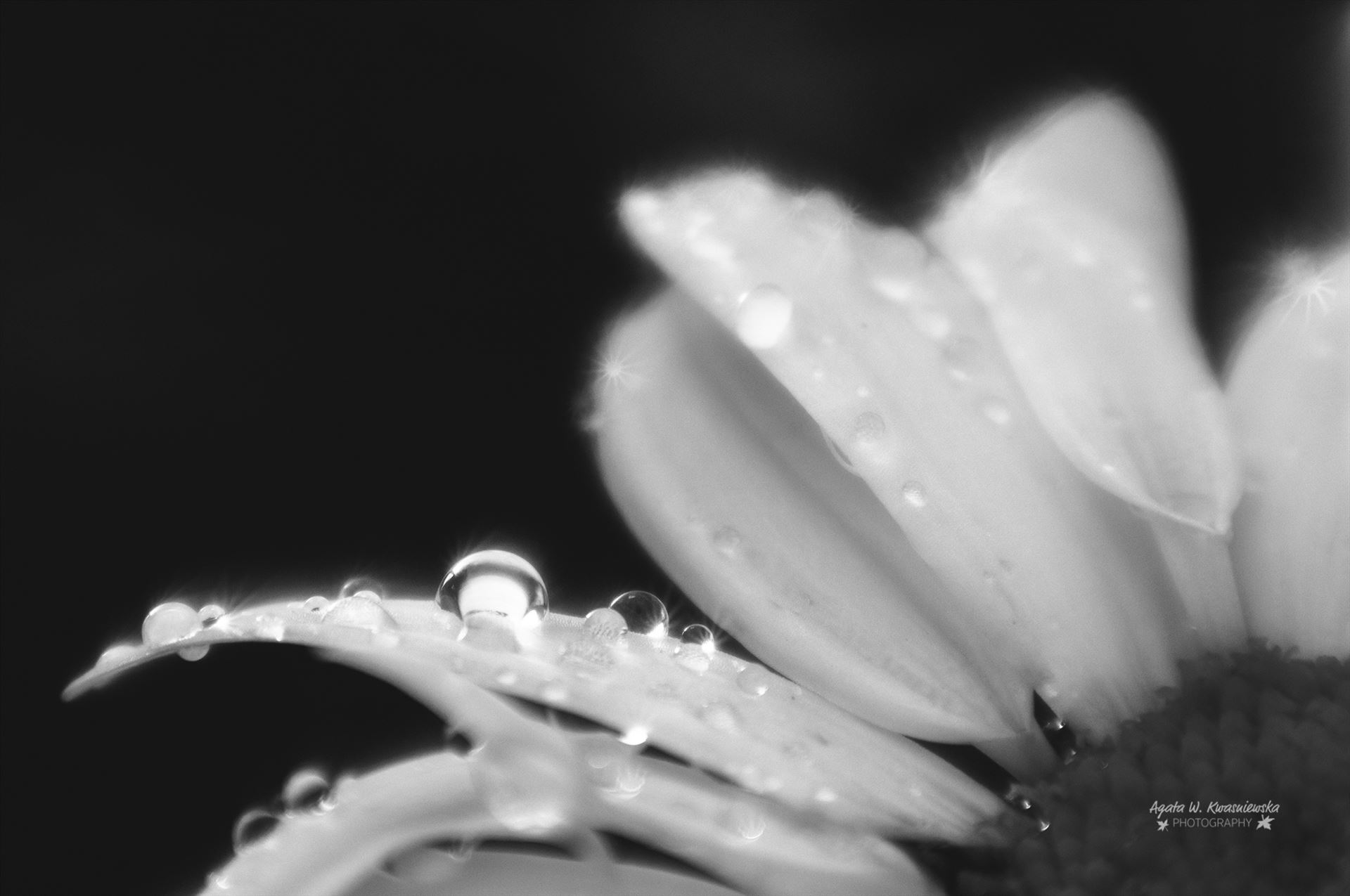 Morning dew -  by Agata W. Kwasniewska Photography