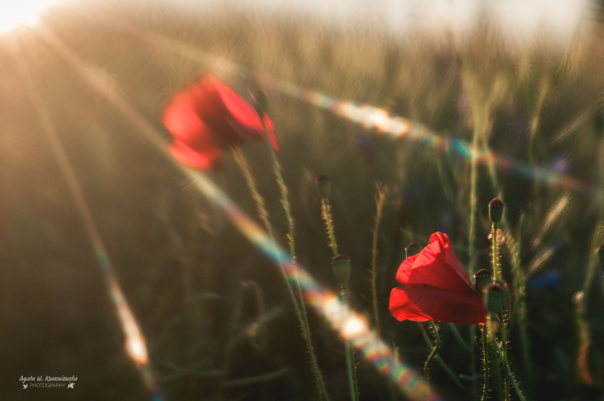 Flares over the poppies -  by Agata W. Kwasniewska Photography