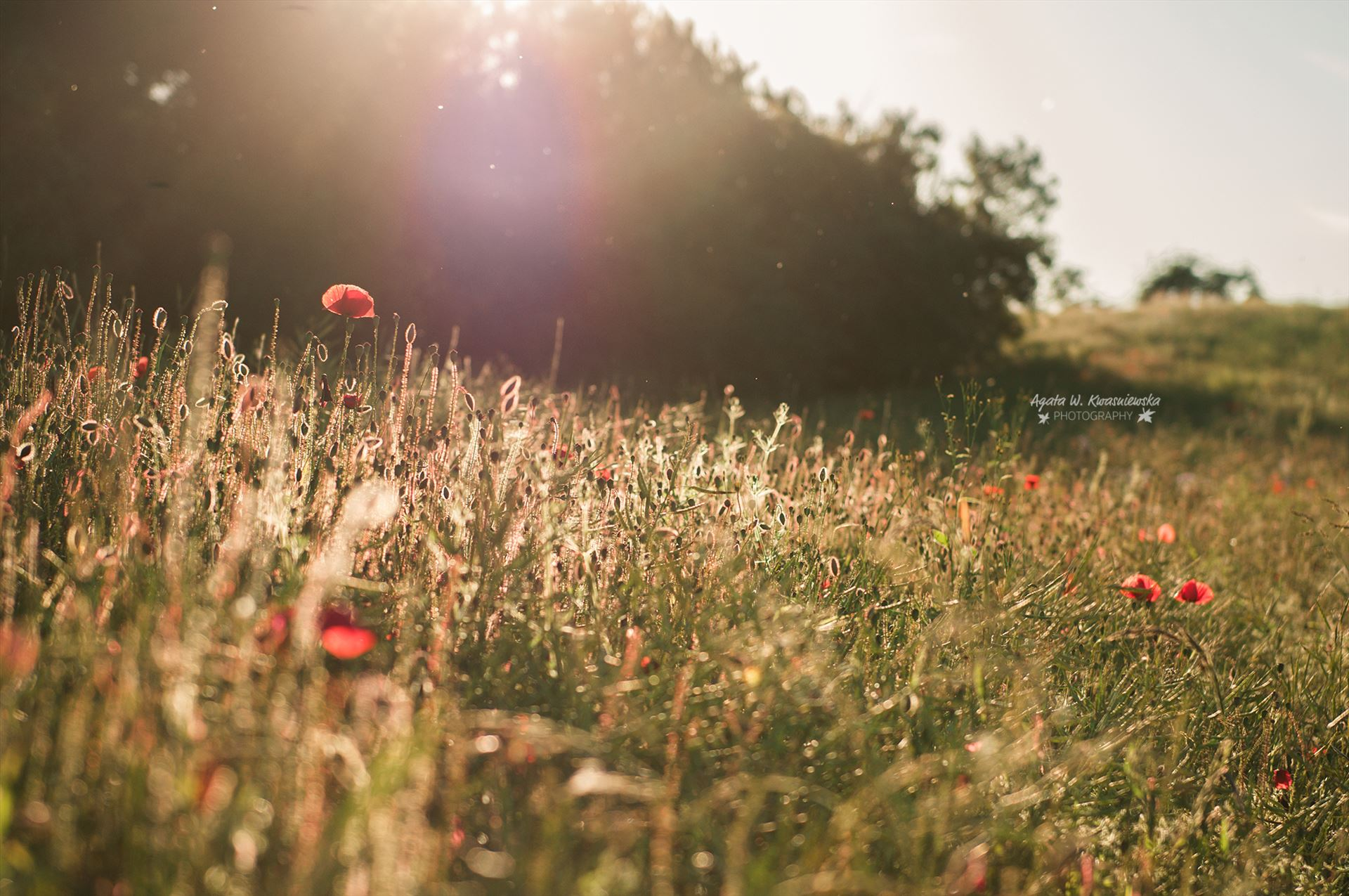A meadow with poppies -  by Agata W. Kwasniewska Photography